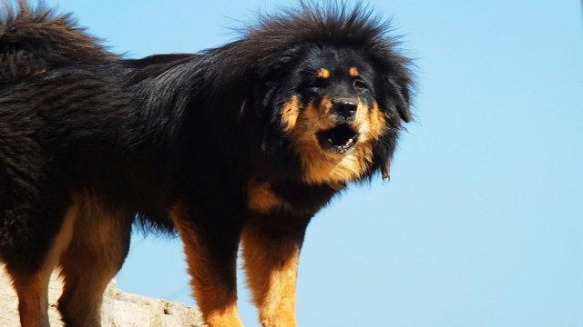 mastiff puppy 2