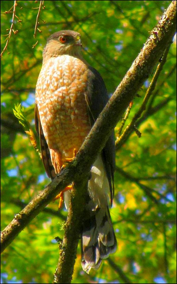 hawk pollution