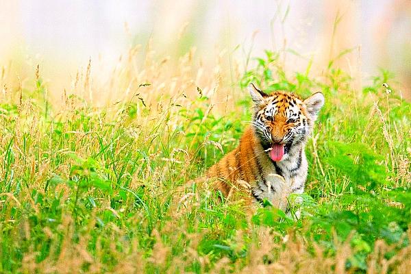 tigers india