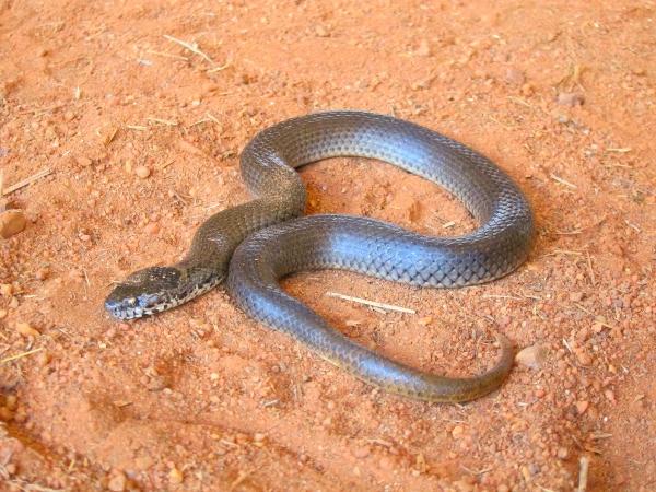 ornamental snake