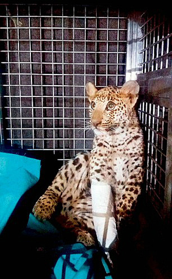 leopard gurgaon 2