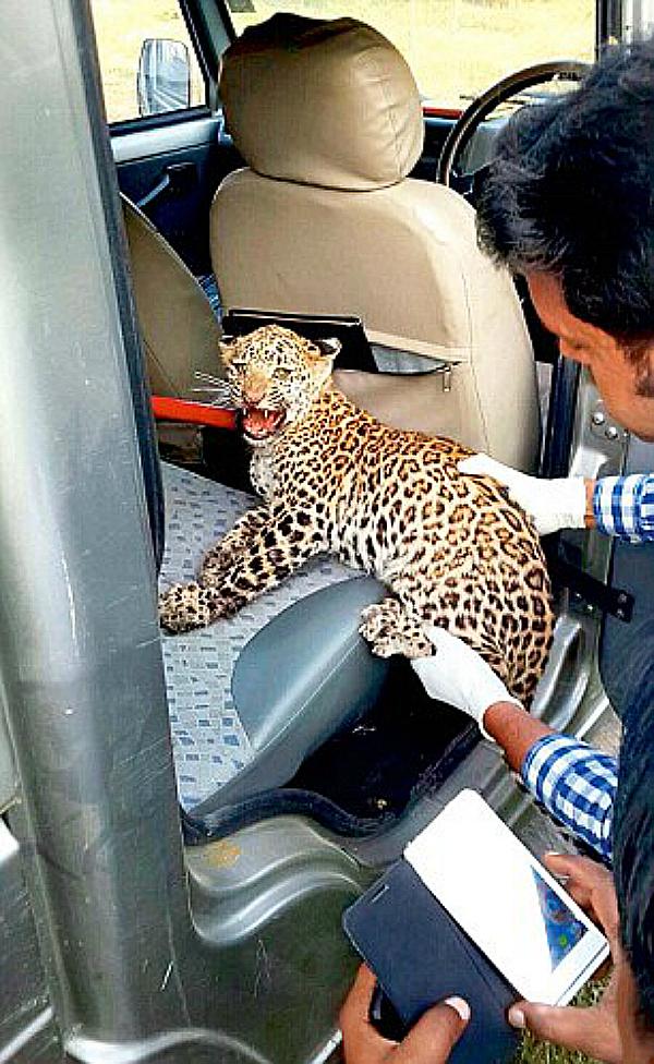 leopard gurgaon