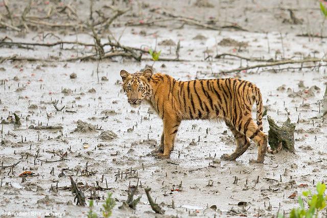 Tiger at sunderbands
