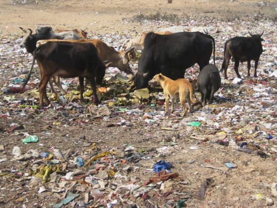 Cow and trash