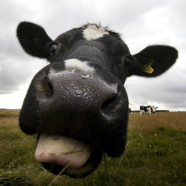 vedic cow