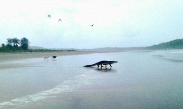 Crocodile on Goa beach