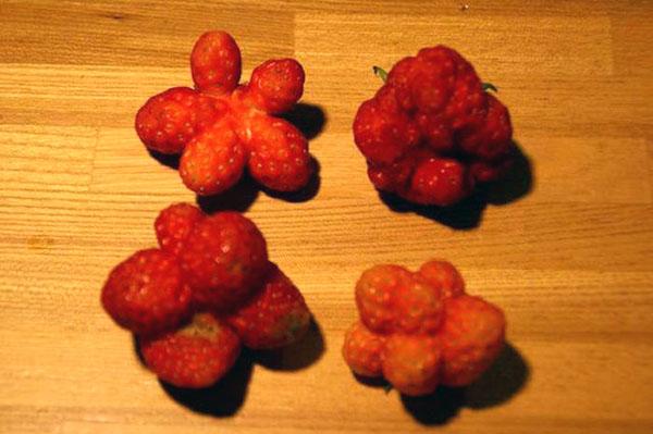 starfish strawberries fukushima