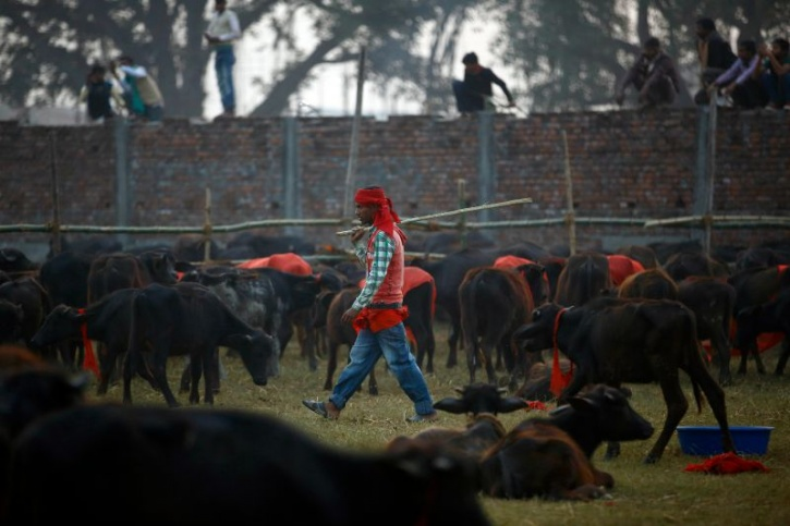 Nepal Gadhimai Festival Bans Animal Sacrifice