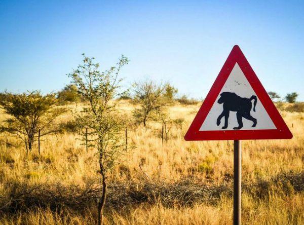 Family Hijacked: Baboons Ransacks A Family For Food