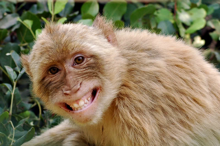 Monkey kidnappers arrested
