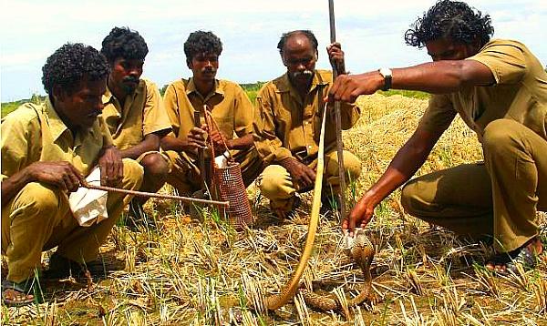irula tribals