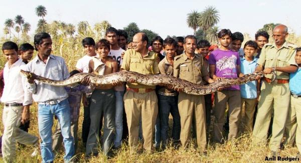 Indian rock snake