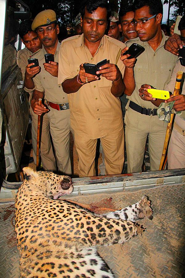 leopard beaten india indian express