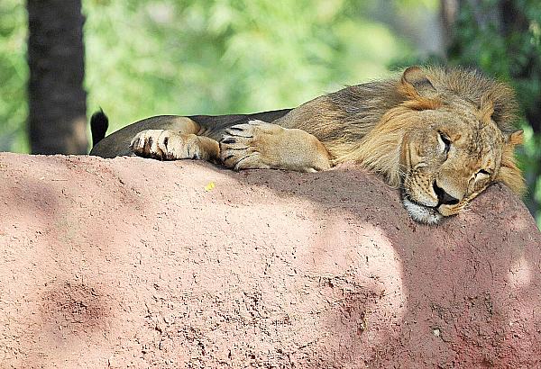 lion asiatic