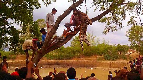 leopard beaten purulia indian express