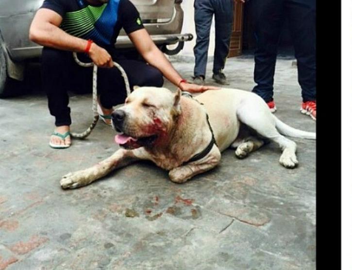 dog fights india jhajjar surender dagar