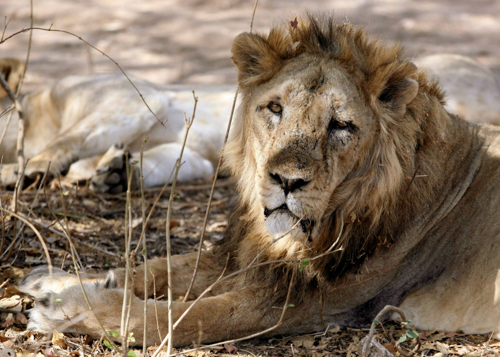More than eight lions dead in Gir sanctuary in Gujarat