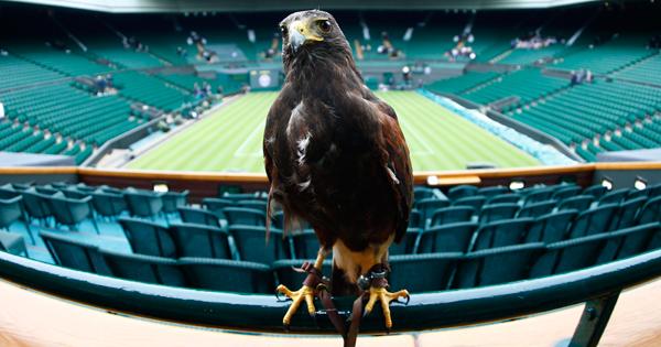 Rufus is a Harris Hawk who keeps the pigeons away in Wimbledon.