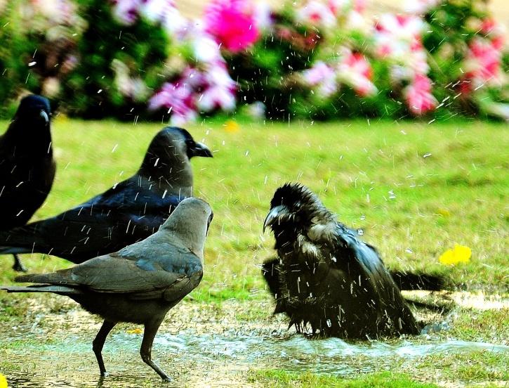 Mumbai crows