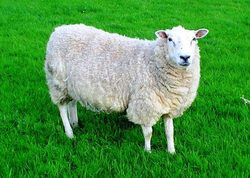 Wool Sorter's Disease