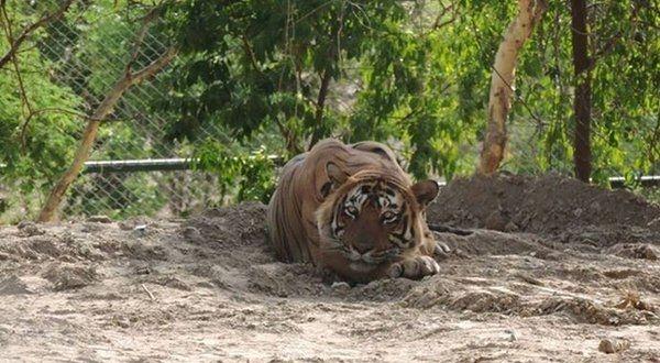 tiger ustad t24