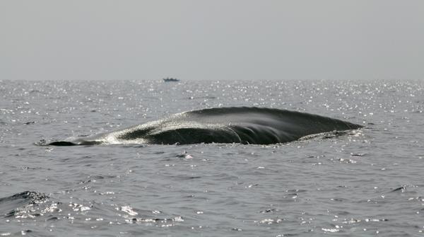 Blue whale (representational image)