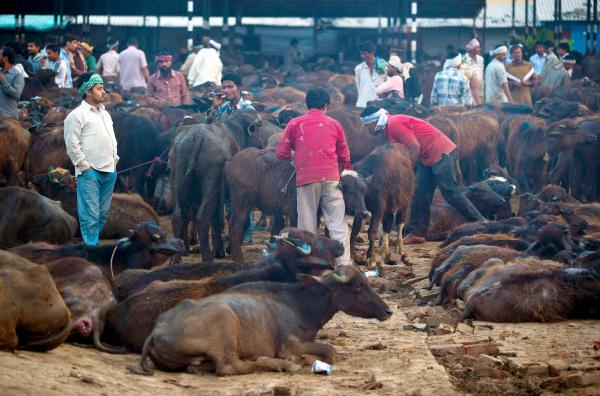 buffalo sales india slaughter