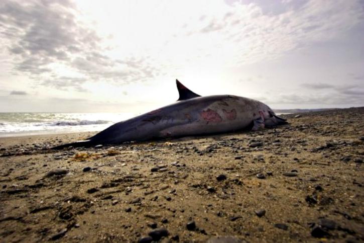 dead dolphin mumbai beach