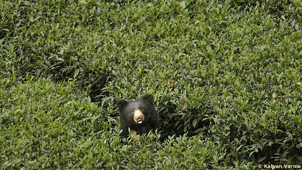 sloth bear valparai tea estate