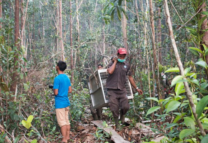 Indonesian Orangutans Which Escaped Wiled Fire