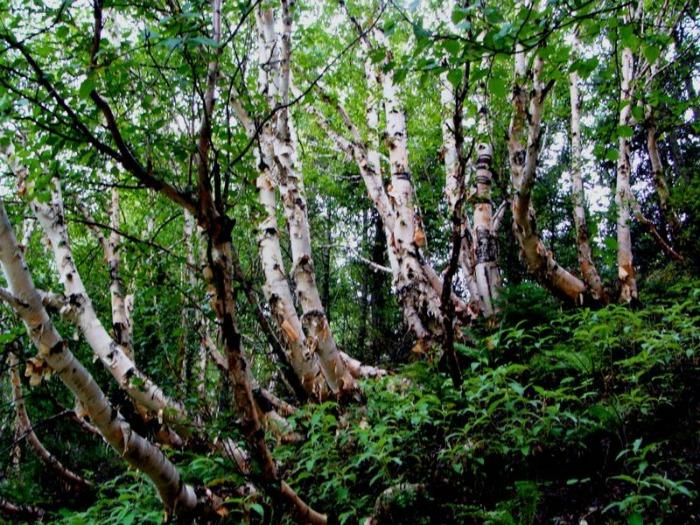Birch forests, Uttarakhand
