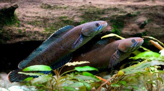 Walking snakehead fish