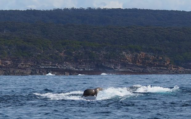 Worth A Ride! While A Seal Takes His Whale For A Spin, A Weasel Hitchhikes On A Woodpecker