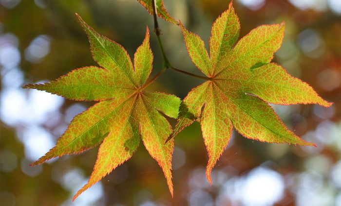 American student suspended for carrying a leaf to school