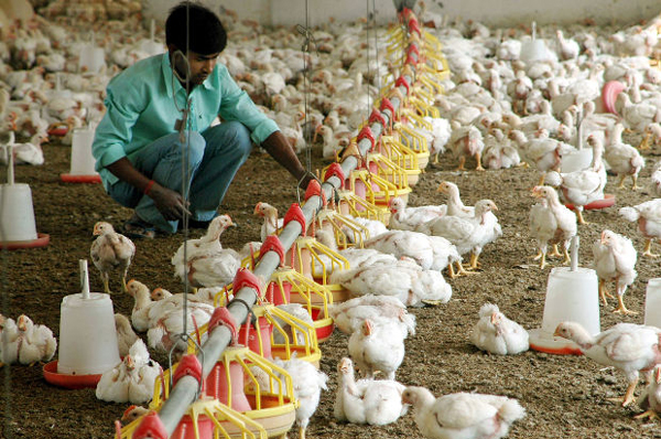 Chickens Antibiotic Resistance