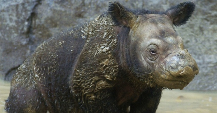Baby Sumatran rhino in US zoo