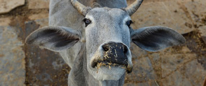 Beef Ban Might Have Saved Them From Slaughter Houses, But Cattle In Drought Hit Maharashtra Are Dying Of Hunger