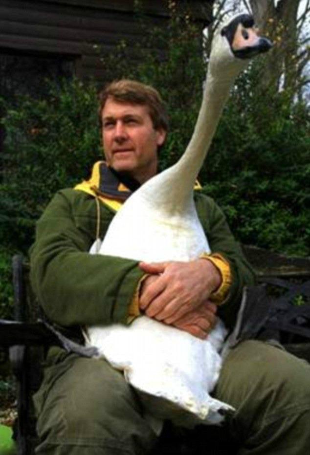 Injured swan hugs her saviour