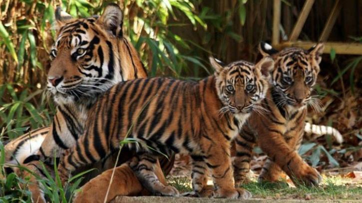 Royal Tiger family