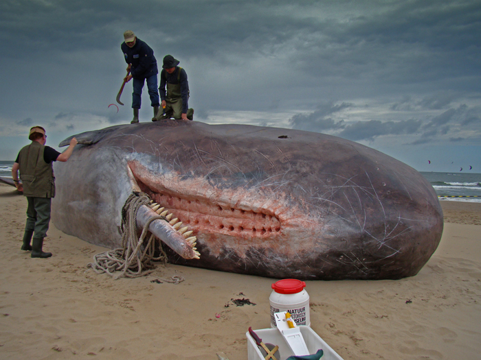 Sperm Whales Found On Germany Beaches Had Stomachs Full of Car Parts and Plastics