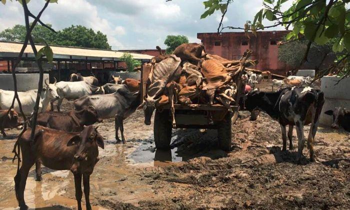 Cowshed in Hingonia