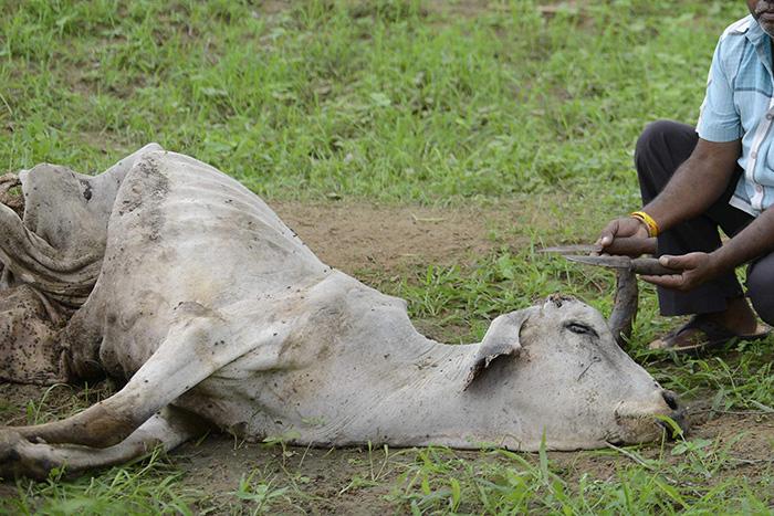 Dalit Man Skinning Dead Cow