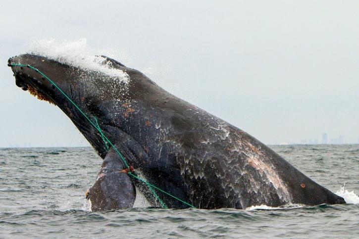 Fishing net stuck on whale