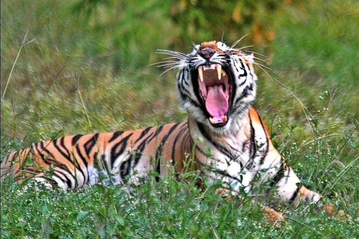 Man-eating tiger