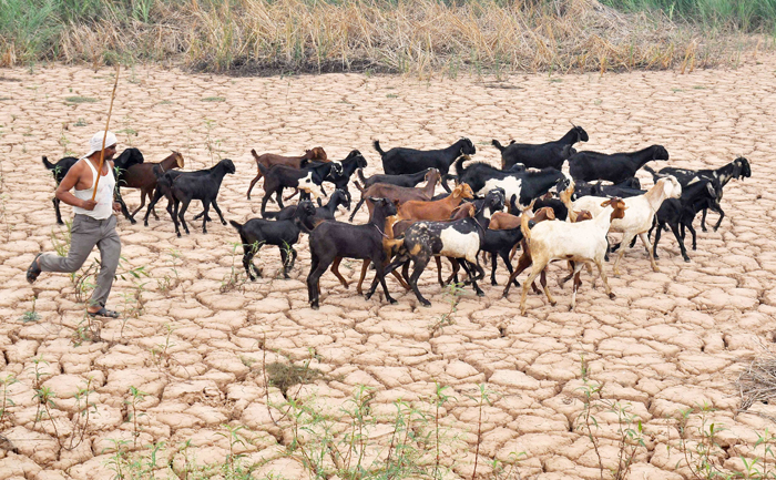 Villagers In Erode Sacrifice 3000 Goats To Placate The Rain Gods