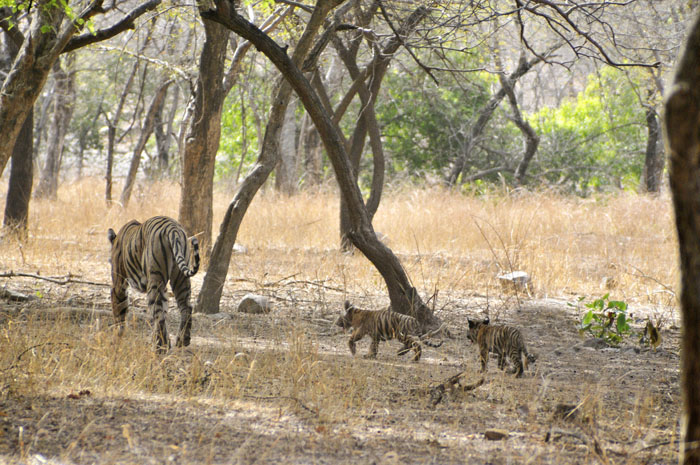Tigress with cubs makes home in Shahjahanpur village