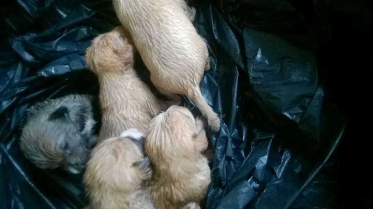 Mumbai puppies