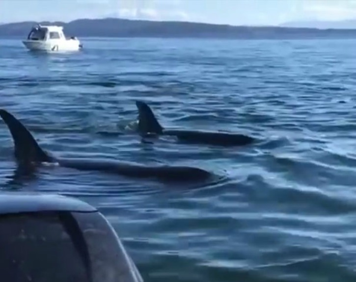 The pack of 12 hungry killer orca whales