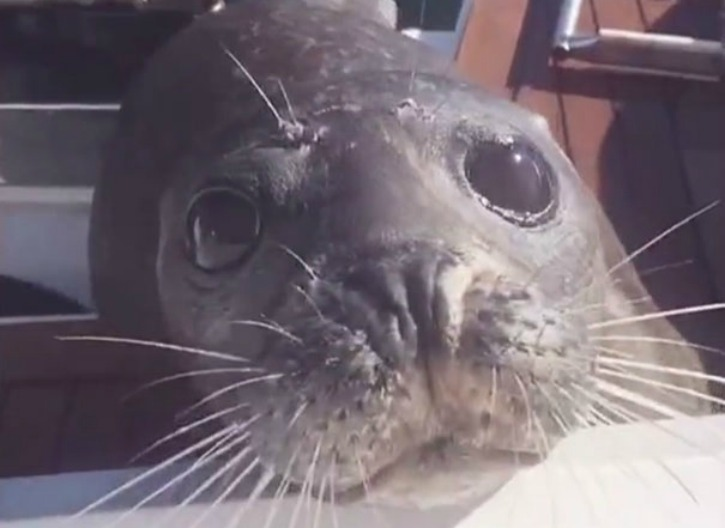 The seal is by now on the boat and safe from the killer whales
