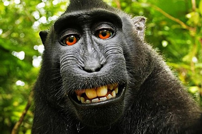 Naruto, a famous monkey known for taking a selfie